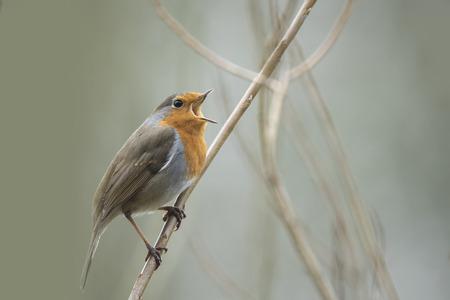 robin europeo pettirosso (Erithacus rubecula) canto degli uccelli e il display durante la stagione primaverile, alla ricerca di un compagno.
