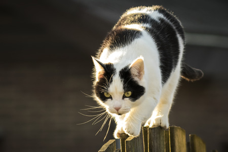 neighbors: Black and white cat walking a fence in the garden next to the neighbors in the evening sunlight. Stock Photo