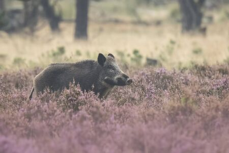 veluwe: A wild boar, swine or pig (Sus scrofa) foraging in a field with purple heather blooming with a forest on the background.. National park Hoge Veluwe, the Netherlands Europe.