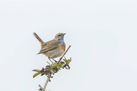 breeding: A blue-throat bird (Luscinia svecica cyanecula) singing to attract a female during breeding season in Springtime