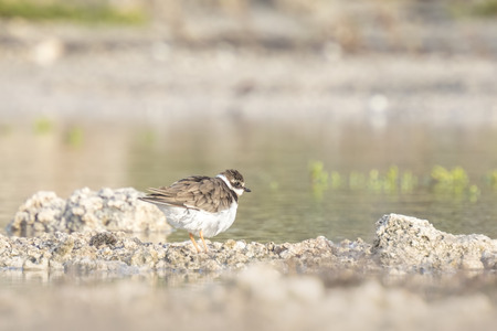 ringed: Ringed Plover (Charadrius hiaticula) polishing in a puddle of water in his own habitat