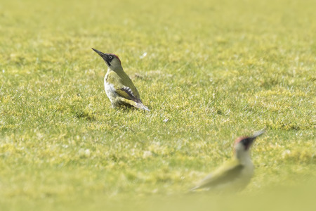 viridis: Male and female European green woodpeckers (picus viridis) foraging on a green meadow searching for insects in the grass. Stock Photo