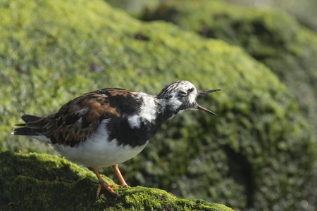 dissimulation: Ruddy turnstone wading bird, Arenaria interpres, shouting, singing, calling and foraging in between the rocks at the shore. These birds live in flocks and are migratory. Stock Photo