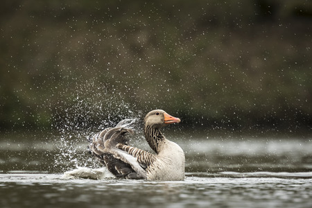 preen: Greylag goose (Anser anser) washing, preening and splashing in the water, cleaning his feathers and plumage..