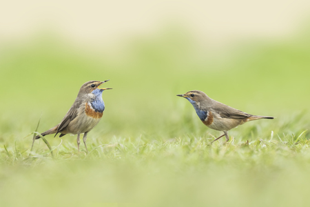 finding a mate: Two blue-throat song birds (Luscinia svecica cyanecula) mating in grass. The male displays for a female during breeding season in Springtime