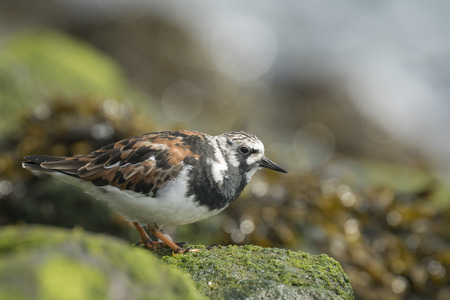 dissimulation: Ruddy turnstone wading bird, Arenaria interpres, in winter plumage, on the background a bird in summer plumage foraging in between the rocks at the shore. These birds live in flocks at shore and are migratory.