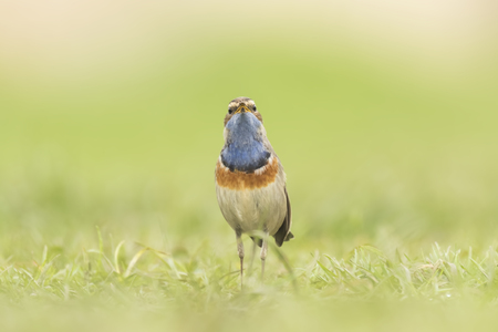 finding a mate: A blue-throat bird (Luscinia svecica cyanecula) foraging in grass in search for insects during breeding season in Springtime