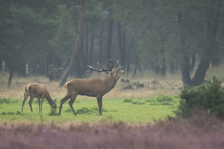 Red deer male, cervus elaphus, rutting during mating season on a field near a forest in purple heather blooming. 