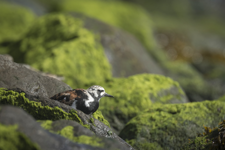 migratory: Ruddy turnstone wading bird, Arenaria interpres, foraging in between the rocks at the shore. These birds live in flocks at shore and are migratory. Stock Photo