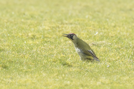 foraging: Male and female European green woodpeckers (picus viridis) foraging on a green meadow searching for insects in the grass. Stock Photo