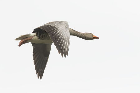 greylag: Closeup of a greylag goose (Anser Anser) in flight on a white background