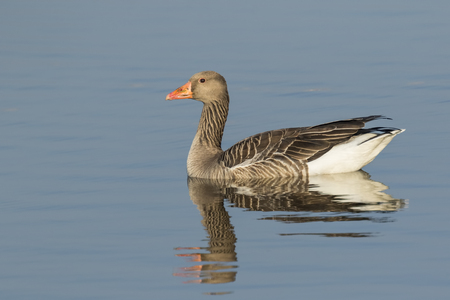 Close up of a greylag goose (Anser anser) swimming on the blue water surface of a lake with bright sunlight and blue sky Stock Photo