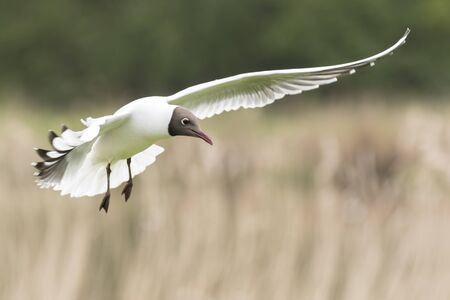 chroicocephalus: Close-up of a Black-headed gull, Chroicocephalus ridibundus, landing with spread wings and tail. Stock Photo