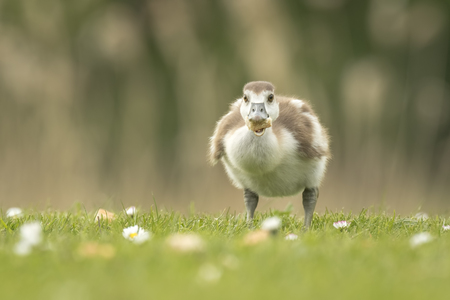 aegyptiaca: Close-up of Egyptian Geese, Alopochen aegyptiacus, chicks walking a grass field with flowers eating bread