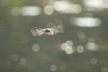 hawker: Migrant hawker, Aeshna mixta, in flight hunting on insects on a sunny summer day
