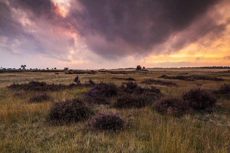 veluwe: Sunset at moorland landscape with purple blooming heather at the national park the Hoge Veluwe in the Netherlands during summer season. Stock Photo
