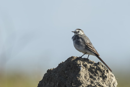 white wagtail: Closeup of a White Wagtail (Motacilla alba) singing during breeding season, displaying on a point of high visiblity. A white wagtail is a small songbird with white, gray and black feathers. The White Wagtail is the national bird of Latvia.
