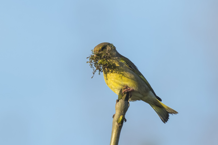 scavenge: Greenfinch bird, Chloris chloris, gathering nesting material. This bird carries moss and perched on a branch.