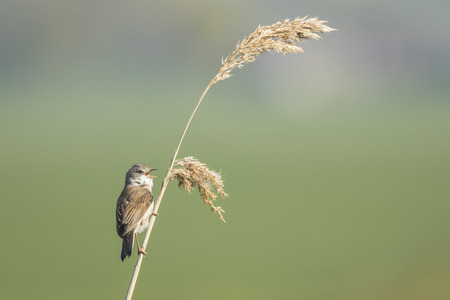 communis: A Whitethroat bird, Sylvia communis, singing to attract a female during breeding season in Springtime Stock Photo