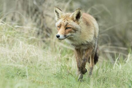 vixen: Wild young red fox (vulpes vulpes) vixen scavenging in a forest
