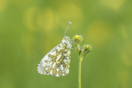 Side view close-up of a Female Orange tip butterfly (anthocharis cardamines) resting in a meadow during spring season