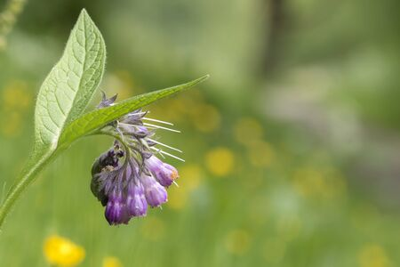 symphytum officinale: Close-up of purple flowers on a plant called common comfrey or comphrey, Symphytum officinale, blooming in a green meadow.