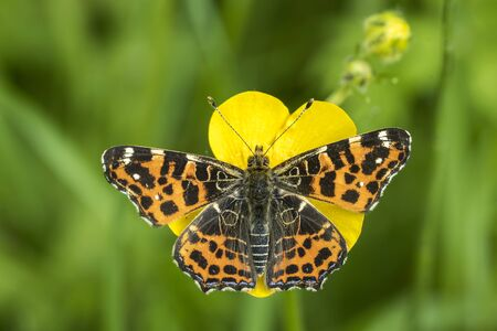 brood: Top view of a map butterfly (Araschnia levana) resting on a yellow buttercup flower. This butterfly is a Spring season generation in Spring brood outfit. Stock Photo