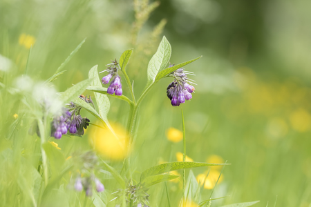 Close-up of purple flowers on a plant called common comfrey or comphrey, Symphytum officinale, blooming in a green meadow.