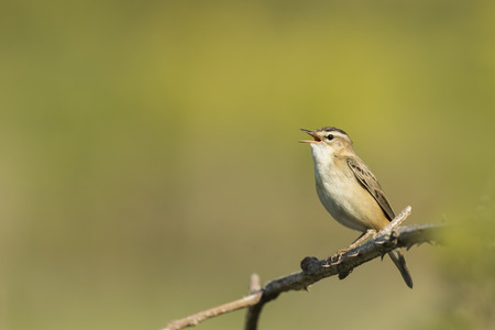warbler: Closeup of a Sedge Warbler bird, Acrocephalus schoenobaenus, singing to attract a female during breeding season in Springtime Stock Photo