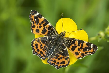 butterfly stationary: Top view of a map butterfly (Araschnia levana) resting on a yellow buttercup flower. This butterfly is a Spring season generation in Spring brood outfit. Stock Photo