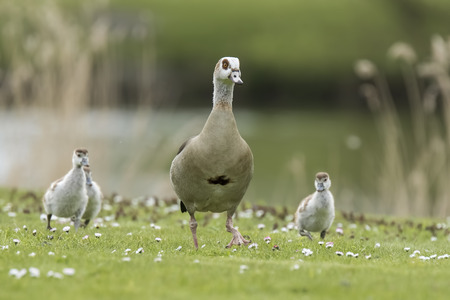 alopochen: Egyptian geese (Alopochen aegyptiacus) with goose chicks on a meadow. They are native to Africa south of the Sahara and the Nile Valley Stock Photo