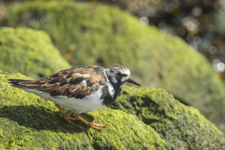 dissimulation: Ruddy turnstone wading bird, Arenaria interpres, foraging in between the rocks at the shore. These birds live in flocks at shore and are migratory. Stock Photo