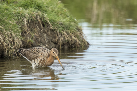 returned: A black-tailed godwit (Limosa Limosa) just returned for this season and foraging elegant in water. Most of the European population breed in the Netherlands.