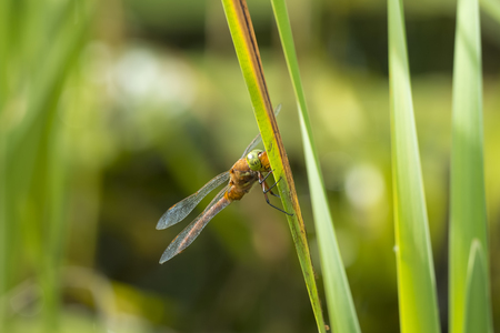hawker: Close up of a green-eyed hawker dragonfly Aeshna isoceles, resting in reeds. This is one of only two brown hawkers found in Europe.