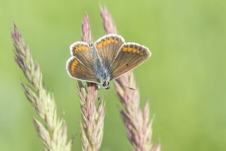 Early morning female Common Blue butterfly (Polyommatus icarus) resting in grassland