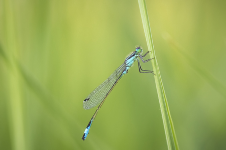 damselfly: Macro close-up of a blue-tailed damselfly (Ischnura elegans) resting on grass in a colorful meadow.