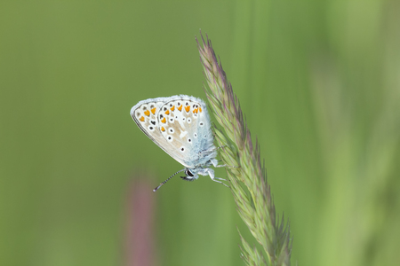 icarus: Early morning female Common Blue butterfly (Polyommatus icarus) resting in grassland