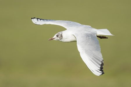 chroicocephalus: Close-up of a Black-headed gull, Chroicocephalus ridibundus, in-flight on a green background during winter season.