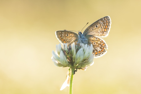 Beautiful front view of a common blue butterfly, Polyommatus icarus, drying his wings on a white flower of Dutch clover, Trifolium repens. Backlit by natural evening sunlight. Stock Photo
