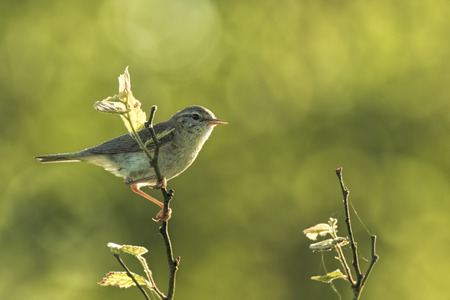 Close-up of a Willow warbler bird, Phylloscopus trochilus, singing on a beautiful summer evening with soft backlight on a green vibrant background.