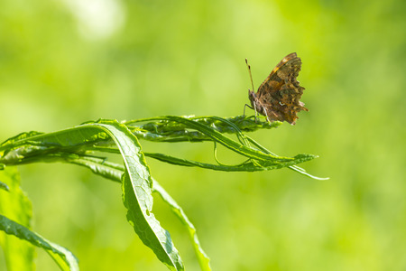 nature picture: Abstract macro nature picture of a Comma butterfly (Polygonia c-album) resting on vegetation in grassland on a green background. Stock Photo