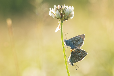 Two common blue butterflies, Polyommatus icarus, mate on white Dutch clover flower (Trifolium repens).