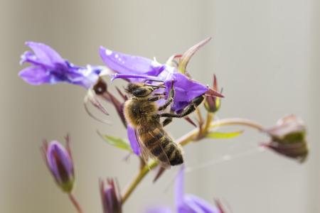 apis: Closeup of a western honey bee or European honey bee (Apis mellifera) feeding nectar of purple bellflower Campanula flowers Stock Photo