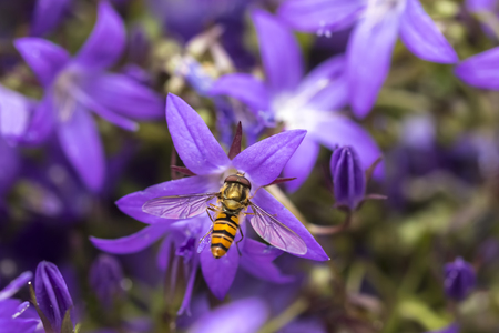 habitats: Marmalade hoverfly, Episyrphus balteatus, feeding nectar on a purple flower bellflower Campanula. Marmalade hoverfly can be found in various habitats and gardens visiting flowers, pollen and nectar.