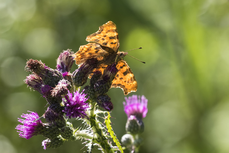 Comma butterfly  (Polygonia c-album) feeding on purple thistle flower on a sunny summer day Stock Photo