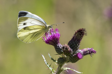 pieris: Green-veined white (Pieris napi) hangs on a purple thistle drinking nectar on a sunny summer day.