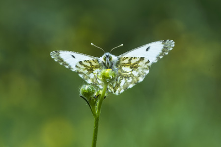 Female Orange tip (anthocharis cardamines) resting and drying her wings on a yellow rape seed flower after the clouds dissapeared and the sun comes through. Stock Photo