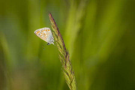 common blue: Early morning female Common Blue butterfly, Polyommatus icarus, with brown wings instead of blue is resting in grass.