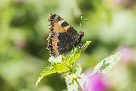 Close-up of the small tortoiseshell (Aglais urticae) butterfly side view. Isolated by nature Stock Photo