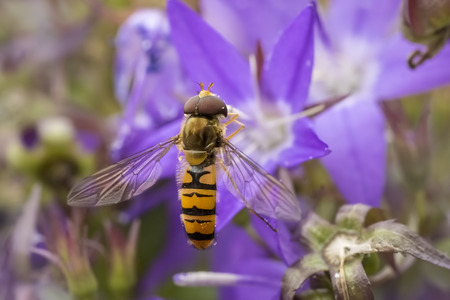 Marmalade hoverfly, Episyrphus balteatus, feeding nectar on a purple flower bellflower Campanula. Marmalade hoverflies can be found in various habitats and gardens visiting flowers, pollen and nectar. Stock Photo